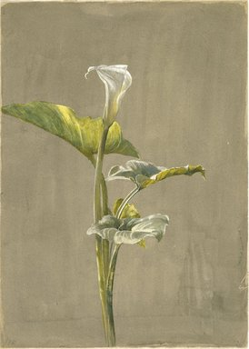 Fidelia Bridges (American, 1834-1923). Calla Lily, 1875. Watercolor on paper, 14 x 10 in. (35.6 x 24.5 cm.). Brooklyn Museum, Museum Collection Fund, 81.213