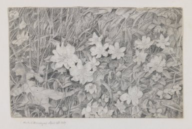 Robert Brandegee (American, 1849-1922). Anemones (Grasses and Flowers), April 15, 1867. Graphite on cream, moderately thick, smooth wove paper mounted to paper., Sheet (drawing): 4 1/4 x 6 5/8 in. (10.8 x 16.8 cm). Brooklyn Museum, Charles Stewart Smith Memorial Fund, 82.134.1