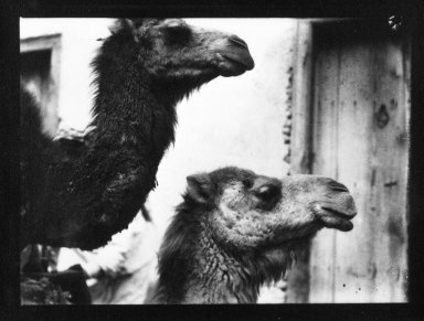 Brooklyn Museum: [Untitled] (Two Camels, North Africa)