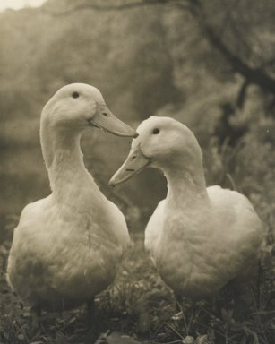 Consuelo Kanaga (American, 1894-1978). [Untitled] (Two Ducks). Gelatin silver photograph, Image: 4 3/4 x 3 7/8 in. (12.1 x 9.8 cm). Brooklyn Museum, Gift of Wallace B. Putnam from the Estate of Consuelo Kanaga, 82.65.21