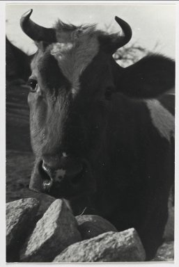 Consuelo Kanaga (American, 1894-1978). [Untitled] (Cow). Gelatin silver photograph, 7 1/2 x 5 in. (19.1 x 12.7 cm). Brooklyn Museum, Gift of Wallace B. Putnam from the Estate of Consuelo Kanaga, 82.65.220
