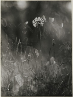 Consuelo Kanaga (American, 1894-1978). [Untitled] (Weeds). Gelatin silver photograph, 3 7/8 x 2 7/8 in. (9.8 x 7.3 cm). Brooklyn Museum, Gift of Wallace B. Putnam from the Estate of Consuelo Kanaga, 82.65.2230
