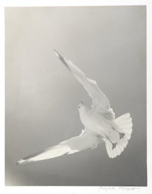 Consuelo Kanaga (American, 1894-1978). [Untitled] (Seagull). Toned gelatin silver photograph, 13 1/4 x 10 3/8 in. (33.7 x 26.4 cm). Brooklyn Museum, Gift of Wallace B. Putnam from the Estate of Consuelo Kanaga, 82.65.2254