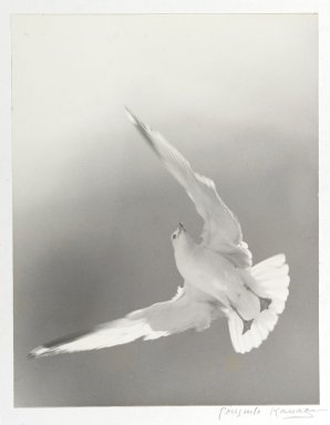 Consuelo Kanaga (American, 1894-1978). [Untitled] (Seagull). Toned gelatin silver photograph, 13 5/8 x 10 1/2 in. (34.6 x 26.7 cm). Brooklyn Museum, Gift of Wallace B. Putnam from the Estate of Consuelo Kanaga, 82.65.2256