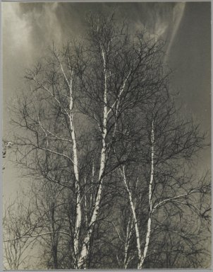 Consuelo Kanaga (American, 1894-1978). [Untitled] (Birch Trees). Gelatin silver photograph, 5 x 4 in. (12.7 x 10.2 cm). Brooklyn Museum, Gift of Wallace B. Putnam from the Estate of Consuelo Kanaga, 82.65.249