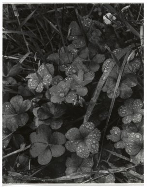Consuelo Kanaga (American, 1894-1978). [Untitled] (Dew on Grass). Gelatin silver photograph, 4 3/4 x 3 3/4 in. (12.1 x 9.5 cm). Brooklyn Museum, Gift of Wallace B. Putnam from the Estate of Consuelo Kanaga, 82.65.254