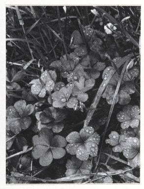 Consuelo Kanaga (American, 1894-1978). [Untitled] (Dew on Clover). Gelatin silver photograph, Image: 4 7/8 x 3 3/4 in. (12.4 x 9.5 cm). Brooklyn Museum, Gift of Wallace B. Putnam from the Estate of Consuelo Kanaga, 82.65.255