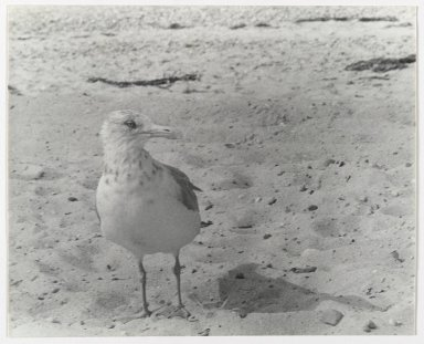Consuelo Kanaga (American, 1894-1978). [Untitled] (Bird). Gelatin silver photograph, 7 5/8 x 9 1/2 in. (19.4 x 24.1 cm). Brooklyn Museum, Gift of Wallace B. Putnam from the Estate of Consuelo Kanaga, 82.65.2652