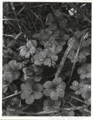 Consuelo Kanaga (American, 1894-1978). [Untitled] (Dew on Clover). Gelatin silver photograph, Image: 4 3/4 x 3 3/4 in. (12.1 x 9.5 cm). Brooklyn Museum, Gift of Wallace B. Putnam from the Estate of Consuelo Kanaga, 82.65.266