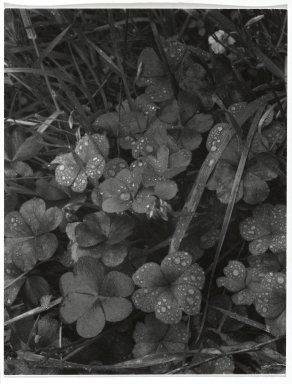 Consuelo Kanaga (American, 1894-1978). [Untitled] (Dew on Clover). Gelatin silver photograph, 4 3/4 x 3 3/4 in. (12.1 x 9.5 cm). Brooklyn Museum, Gift of Wallace B. Putnam from the Estate of Consuelo Kanaga, 82.65.267