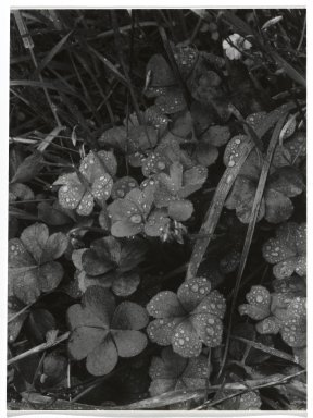 Consuelo Kanaga (American, 1894-1978). [Untitled] (Dew on Clover). Gelatin silver photograph, 4 3/4 x 3 1/2 in. (12.1 x 8.9 cm). Brooklyn Museum, Gift of Wallace B. Putnam from the Estate of Consuelo Kanaga, 82.65.268