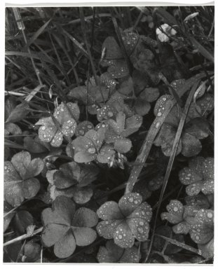 Consuelo Kanaga (American, 1894-1978). [Untitled] (Dew on Clover). Gelatin silver photograph, 4 3/8 x 3 5/8 in. (11.1 x 9.2 cm). Brooklyn Museum, Gift of Wallace B. Putnam from the Estate of Consuelo Kanaga, 82.65.269