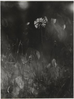 Consuelo Kanaga (American, 1894-1978). [Untitled] (Dandelion in Grass). Gelatin silver photograph, 4 x 2 7/8 in. (10.2 x 7.3 cm). Brooklyn Museum, Gift of Wallace B. Putnam from the Estate of Consuelo Kanaga, 82.65.274