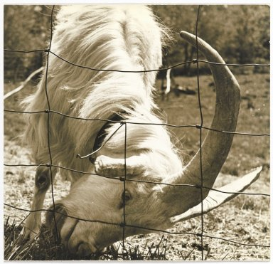 Consuelo Kanaga (American, 1894-1978). [Untitled] (Goat by Fence). Gelatin silver photograph, 7 3/4 x 8 1/8 in. (19.7 x 20.6 cm). Brooklyn Museum, Gift of Wallace B. Putnam from the Estate of Consuelo Kanaga, 82.65.323