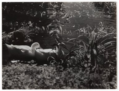 Consuelo Kanaga (American, 1894-1978). [Untitled] (Ducks in Pond). Gelatin silver photograph, 6 5/8 x 8 7/8 in. (16.8 x 22.5 cm). Brooklyn Museum, Gift of Wallace B. Putnam from the Estate of Consuelo Kanaga, 82.65.337