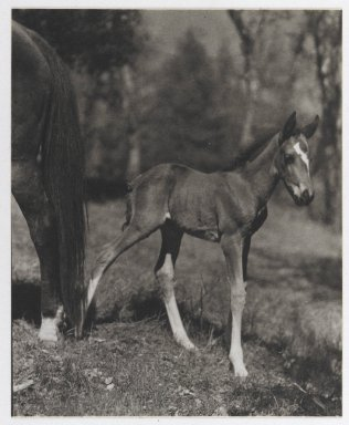 Consuelo Kanaga (American, 1894-1978). [Untitled] (Foal), 1950s. Toned gelatin silver photograph, Image: 5 1/4 x 4 1/4 in. (13.3 x 10.8 cm). Brooklyn Museum, Gift of Wallace B. Putnam from the Estate of Consuelo Kanaga, 82.65.33