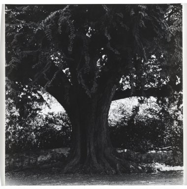 Consuelo Kanaga (American, 1894-1978). [Untitled] (Tree). Gelatin silver photograph, 7 3/4 x 7 1/2 in. (19.7 x 19.1 cm). Brooklyn Museum, Gift of Wallace B. Putnam from the Estate of Consuelo Kanaga, 82.65.341