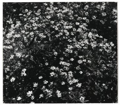 Consuelo Kanaga (American, 1894-1978). [Untitled] (Flowers). Gelatin silver photograph, 7 1/4 x 8 1/2 in. (18.4 x 21.6 cm). Brooklyn Museum, Gift of Wallace B. Putnam from the Estate of Consuelo Kanaga, 82.65.348