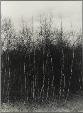 Consuelo Kanaga (American, 1894-1978). [Untitled] (Birch Trees). Gelatin silver photograph, 8 7/8 x 6 1/2 in. (22.5 x 16.5 cm). Brooklyn Museum, Gift of Wallace B. Putnam from the Estate of Consuelo Kanaga, 82.65.356