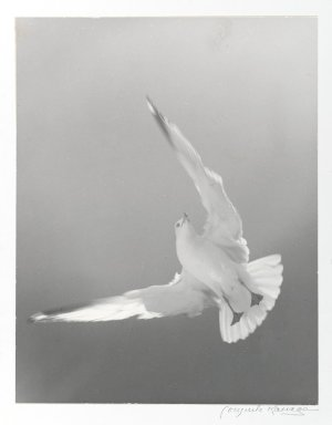 Consuelo Kanaga (American, 1894-1978). [Untitled] (Seagull). Gelatin silver photograph, 13 5/8 x 10 5/8 in. (34.6 x 27 cm). Brooklyn Museum, Gift of Wallace B. Putnam from the Estate of Consuelo Kanaga, 82.65.375