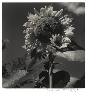 Consuelo Kanaga (American, 1894-1978). Sunflower, 1942. Gelatin silver photograph, 8 3/16 x 7 7/8 in. (20.8 x 20 cm). Brooklyn Museum, Gift of Wallace B. Putnam from the Estate of Consuelo Kanaga, 82.65.377