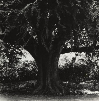 Consuelo Kanaga (American, 1894-1978). [Untitled] (Tree). Gelatin silver photograph, 7 3/4 x 7 1/2 in. (19.7 x 19.1 cm). Brooklyn Museum, Gift of Wallace B. Putnam from the Estate of Consuelo Kanaga, 82.65.449
