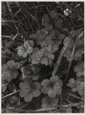 Consuelo Kanaga (American, 1894-1978). [Untitled] (Dew on Clover). Gelatin silver photograph Brooklyn Museum, Gift of Wallace B. Putnam from the Estate of Consuelo Kanaga, 82.65.44