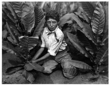 Lewis Wickes Hine (American, 1874-1940). Child Labor in Tobacco Field, Connecticut, 1916. Gelatin silver photograph, image: 13 1/2 x 10 1/2 in.  (34.3 x 26.7 cm). Brooklyn Museum, Gift of Walter and Naomi Rosenblum, 84.237.2