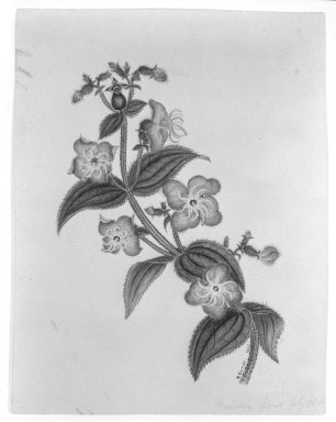 H. Lynde. Rhexia Virginian, 1861. Watercolor on paper Brooklyn Museum, Purchased with funds given by Mr. and Mrs. Leonard L. Milberg, 85.178.3