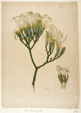 Indian. Botanical Study of a Lily, ca. 1800. Watercolor on laid English paper, sheet: 21 3/8 x 15 3/16 in.  (54.3 x 38.6 cm). Brooklyn Museum, Purchased with funds given by Willard G. Clark, 88.96