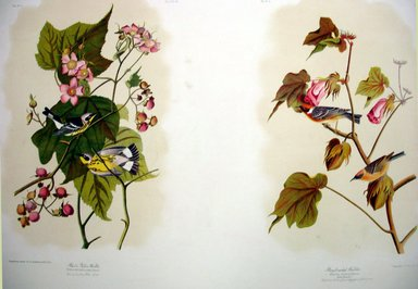 John James  Audubon (American, born Haiti, 1785-1851). Black & Yellow Warbler and Bay-breasted Warbler, 1861. Chromolithograph Brooklyn Museum, Gift of Seymour R. Husted Jr., 06.339.10a-b