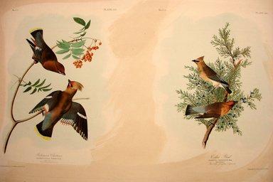 John J. Audubon (American, 1785-1851). Bohemian Chatterer and Cedar Bird, 1861. Chromolithograph Brooklyn Museum, Gift of Seymour R. Husted Jr., 06.339.15a-b