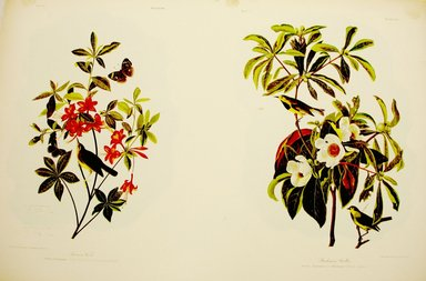 John J. Audubon (American, 1785-1851). Swainson's Warbler and Backman's Warbler, 1861. Chromolithograph Brooklyn Museum, Gift of Seymour R. Husted Jr., 06.339.78a-b