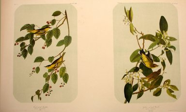 John James  Audubon (American, born Haiti, 1785-1851). Carbonated Warbler and Yellow-and-Red Poll Warbler, 1861. Chromolithograph Brooklyn Museum, Gift of Seymour R. Husted Jr., 06.339.79a-b