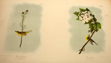John J. Audubon (American, 1785-1851). Wilson's Flycatcher and Yellow-throated Vireo, 1861. Chromolithograph Brooklyn Museum, Gift of Seymour R. Husted Jr., 06.339.81a-b