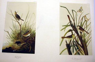 John J. Audubon (American, 1785-1851). Sharp-tailed Finch and Mac Gillivray's Finch, 1861. Chromolithograph Brooklyn Museum, Gift of Seymour R. Husted Jr., 06.339.87a-b