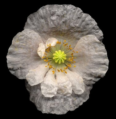 Harold Feinstein (American, 1931-2015). No. 43, Poppy, Papaver Species, 2000. Digital photograph (scanogram), image: 15 x 14 1/2 in. (38.1 x 36.8 cm). Brooklyn Museum, Gift of Wallace B. Putnam from the Estate of Consuelo Kanaga, by exchange, 2000.34.2. © Harold Feinstein