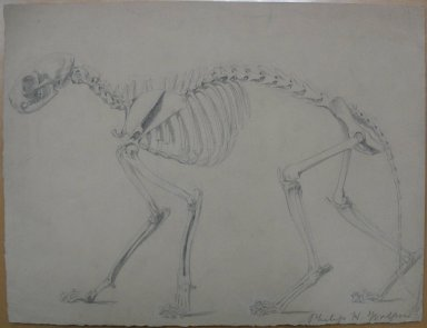 Philip H. Wolfrom (American, 1870-1904). Skeleton of a Cat, n.d. Graphite on paper, Sheet: 9 13/16 x 12 15/16 in. (24.9 x 32.9 cm). Brooklyn Museum, Gift of Anna Wolfrom Dove, 27.808
