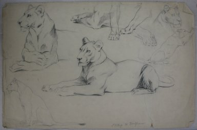 Philip H. Wolfrom (American, 1870-1904). Studies of a Lioness, n.d. Graphite and charcoal on paper, Sheet: 12 7/8 x 19 3/4 in. (32.7 x 50.2 cm). Brooklyn Museum, Gift of Anna Wolfrom Dove, 27.815