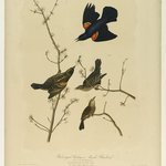Red-winged Starling or Marsh Blackbird