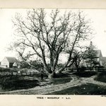 Tree, Wheatley, Long Island