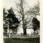 Tulip Tree, Huntington, Long Island