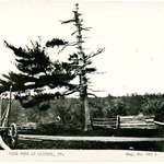 Pine Tree, Bristol, Connecticut