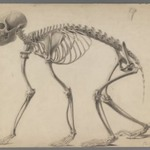 Skeleton of a Primate