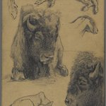 Studies of Bison, Calf and Goat
