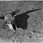 Skull of Steer in Bad Lands of South Dakota