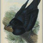 Corvus Corax - Raven