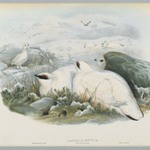 Lagopus Mutus, Winter Plumage: Common Ptarmigan