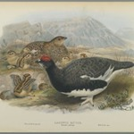 Lagopus Mutus, Summer Plumage: Common Ptarmigan