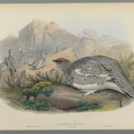 Lagopus Mutus, Autumn Plumage: Common Ptarmigan